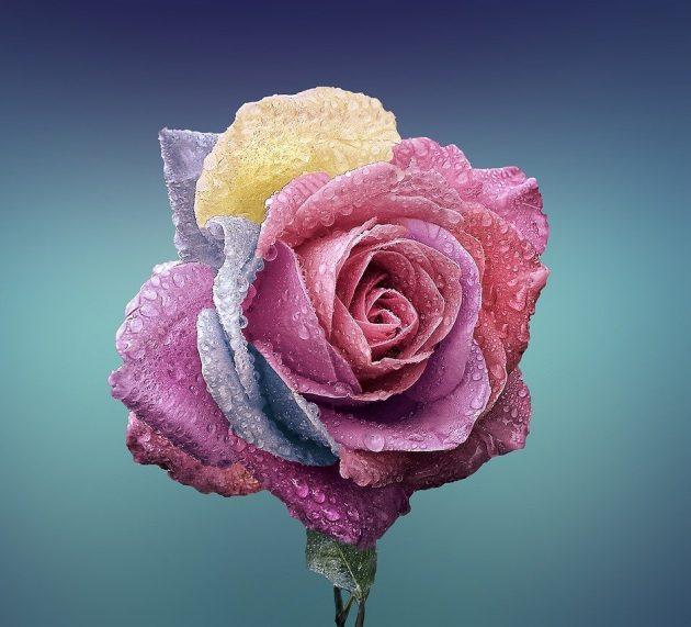 La rose du conte la Belle et la Bête